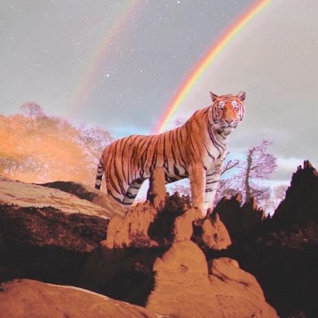 tiger rainbw